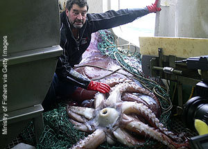 Colossal_squid